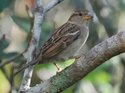 House Sparrow LJ 122008 072