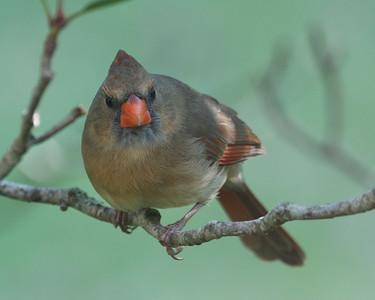 Cardinal Female 122008 081