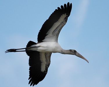 Wood Stork in flight near Freeport Nov