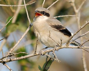 Shrike Chick Quintana 0503