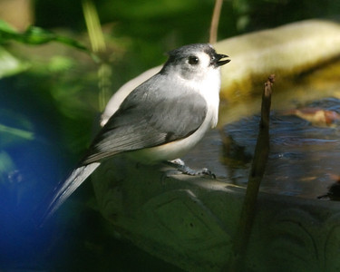 Tufted Titmouse@LJ 112008