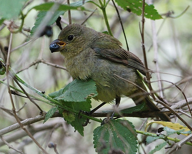 Painted Bunting - female - Quintana 0504