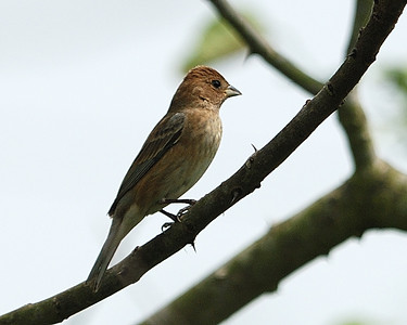 Crested Flycatcher - Quintana 0504