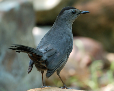 Gray Catbird - Quintana on 0504