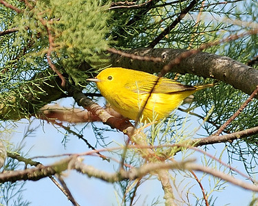 Yellow Warbler Quintana 0503