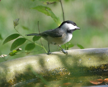 Carolina Chickadee 122008 083