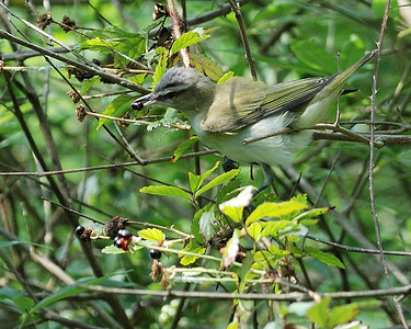 Red-eyed Vireo @ Quintana 0504