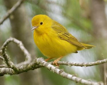Yellow Warbler - Quintana0504