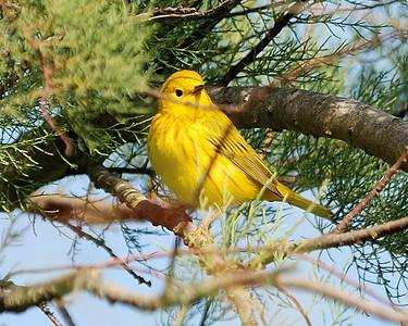 Yellow Warbler @Quintana-0503