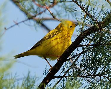 Yellow Warbler- Quintana 0503