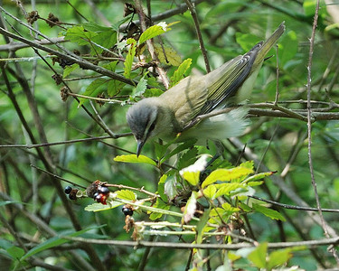 Red-eyed Vireo - Quintana 0504