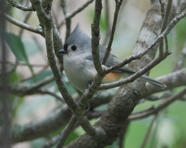 Tufted Titmouse LJ 112008