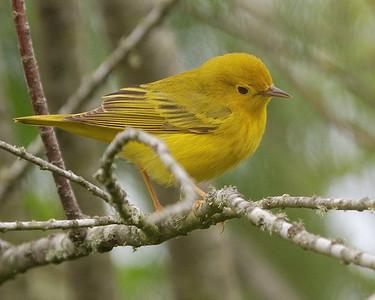 Yellow Warbler - Quintana - 0504