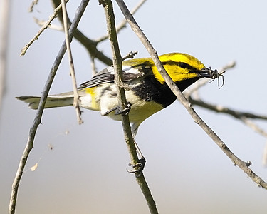 Black-throated Green Warbler - Quintana, TX - April 2011 Seen here having scored a meal.