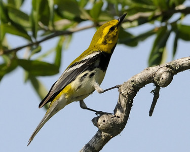 Black-throated Green Warbler - Quintana, TX - April 2011