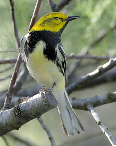 Black-throated Green Warbler - Quintana, TX - April 2011 Taking a rest after a long migration flight.