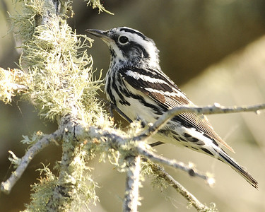 Black and White Warbler - Quintana, TX - April 2011