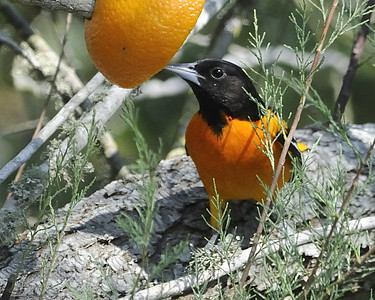 Baltimore Oriole - Quintana, TX - April 2011