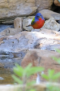 Painted Bunting - Quintana, TX - April 2011