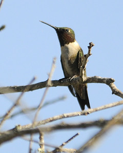 Ruby-throated Hummingbird - Quintana, TX - April 2011