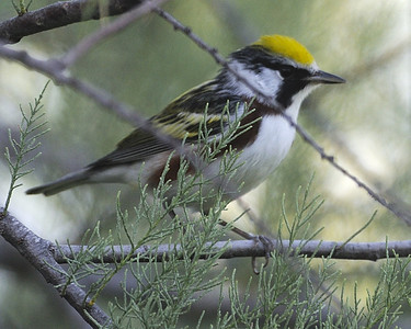 Chestnut-sided Warbler - Quintana, TX - April 2011