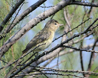 Warbling Vireo - Quintana, TX - April 2011