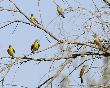 Dickcissels - Quintana, TX - April 2011