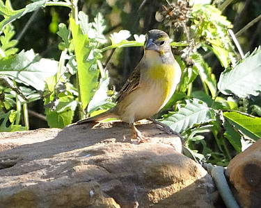 Dickcissel - Quintana, TX - April 2011