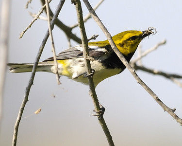 Black-throated Green Warbler - Quintana, TX - April 2011 Seen here having scored a quick meal.