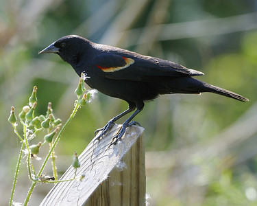 Red-winged Blackbird - Quintana, TX - April 2011