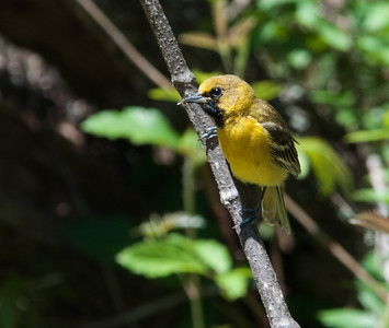 Young Male Orchard Oriole at Quintana April 2013