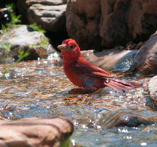 Summer Tanager at Quintana, TX April 2013