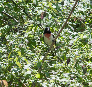 Rose-breasted Grosbeak at Quintana April 2013