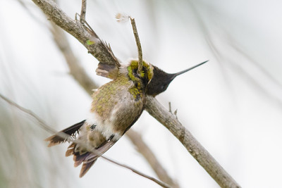 Hummer impaled by shrike