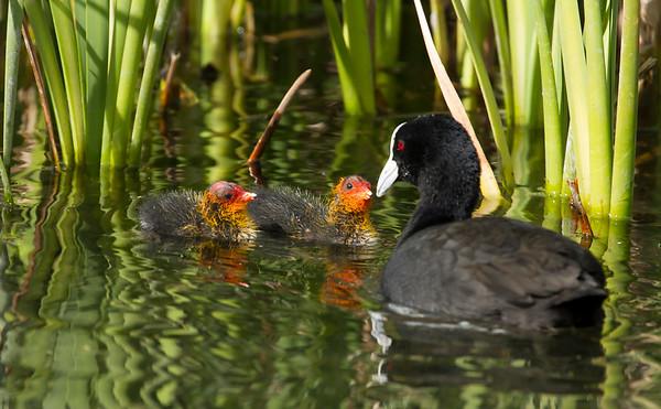 Eurasian Coot new feeding chicks