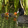 Eurasian Coot new feeding chicks