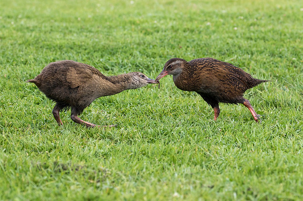 Western Weka feeding 1 of it's 3 chicks