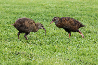 Western Weka feeding 1 of it's 3 chicks