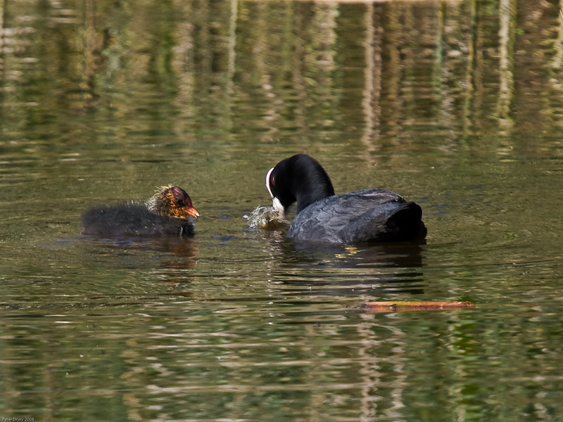Coot (Fulica atra). Copyright 2009 Peter Drury<br /> Hilsea Moat, Portsmouth