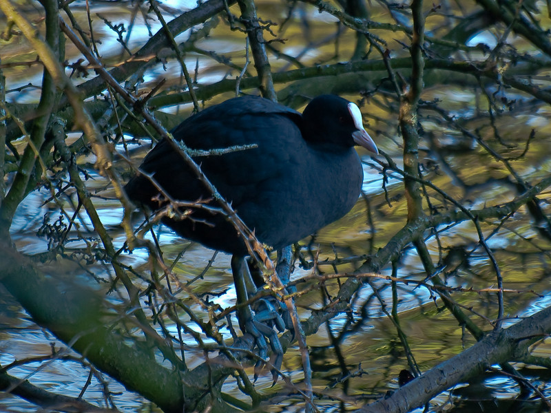 Coot (Fulica atra). Copyright Peter Drury 2010<br /> This image shows clearly the size of the claws and feet which seem disproportionate to the body.