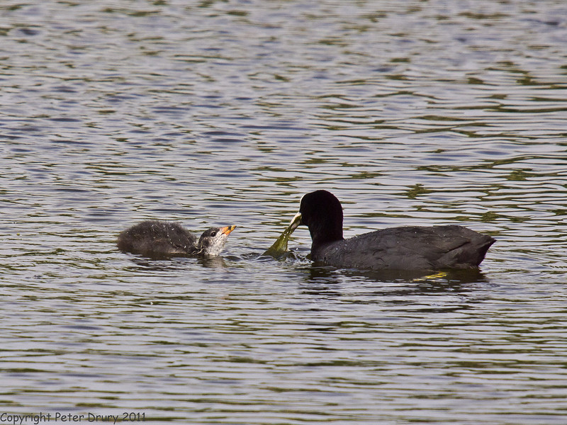 16 May 2011. Coot family at Milton Common. Second visit. Copyright Peter Drury 2011