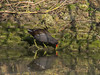 11 Feb 2012 Moorhen on the Hermitage stream