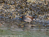 05 Dec 2010 - Moorhen at Broadmarsh. Copyright Peter Drury 2010. Part of E5 Tests