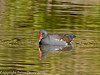 Moorhen on Hilsea Lakes, Portsmouth. Copyright Peter Drury 2010