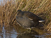 Moorhen (Gallinula chloropus). Copyright 2009 Peter Drury<br /> Farlington Marshes, Langstone Harbour