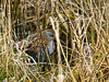 Water Rail (Rallus aquaticus). Copyright 2009 Peter Drury