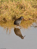 Water Rail (Rallus aquaticus). Copyright 2009 Peter Drury<br /> A shy and reclusive bird that normally spends its time deep within the reeds. Occasionally it makes an appearance in the shallow pools at the bak of the reeds as is the case here.