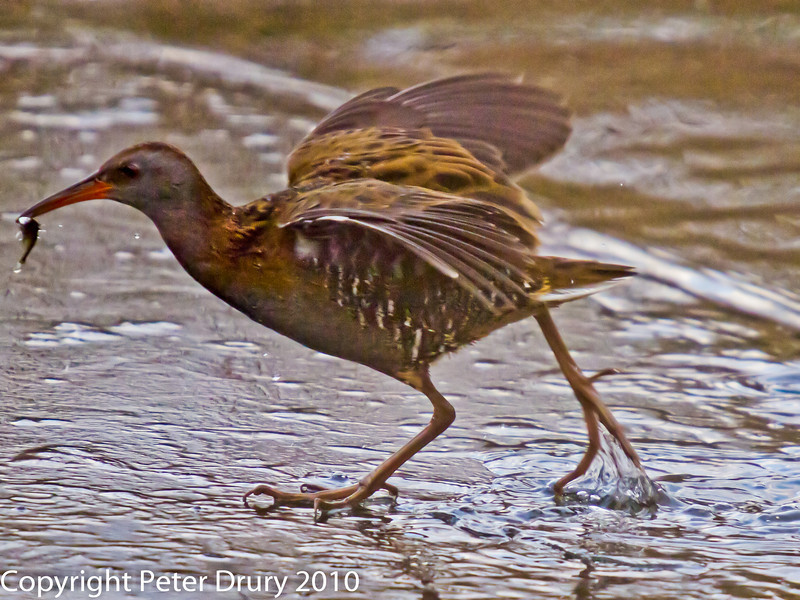 13 Dec 2010 - Water Rail at Farlington Marshes. Copyright Peter Drury 2010. From RAW file.<br /> ISO 1600, Sigma 50-500, fl=500mm, Shutter 1/640s Aperture f6.3