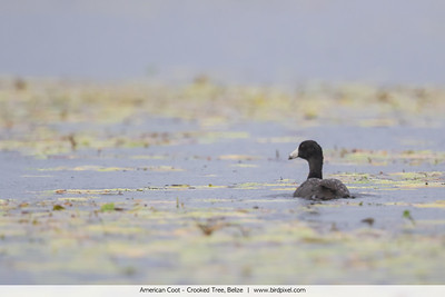 American Coot - Crooked Tree, Belize