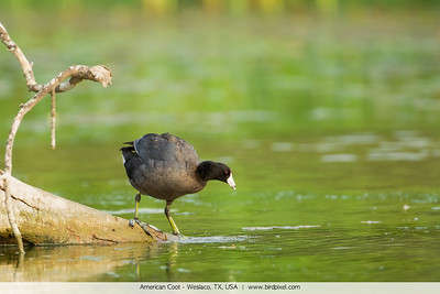 American Coot - Weslaco, TX, USA